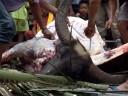 water buffalo skinning (torajan funeral ceremony). 2011-09-12 03:04:57, DSC-F828.