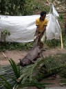 pig sacrifice (torajan funeral ceremony). 2011-09-12 02:52:33, DSC-F828.