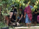 the pig is taken apart immediately, to be cooked right away (torajan funeral ceremony)
