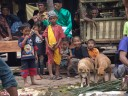 kids are watching the processing of the water buffalo, dogs try to snitch some meat.