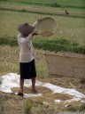 a worker separates the rice grains from the chaff.