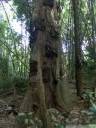 objek wisata, a torajan baby grave tree. 2011-09-12 06:30:23, DSC-F828. keywords: baby grab, grabbaum, bestattungsbaum