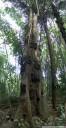panorama: objek wisata, a torajan baby grave tree. 2011-09-12 06:30:23, DSC-F828. keywords: baby grab, grabbaum, bestattungsbaum