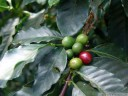 the fruit of the coffee plant (coffea sp.) is called a coffee cherry. 2011-02-07 10:46:52, DSC-F828.