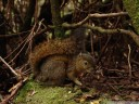 bangs's mountain squirrel (syntheosciurus brochus), an almost unknown species of tree squirrel