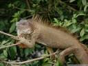 common iguana (iguana iguana). 2011-02-08 10:05:27, DSC-F828.