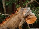 male common iguana (iguana iguana) with spines and dewlap