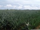pineapple plantation (ananas comosus)
