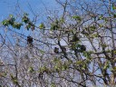 mantled howler monkeys (alouatta palliata) in a pochote tree (pachira quinata)