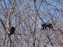 mantled howler monkeys (alouatta palliata) in a pochote tree (pachira quinata). 2011-02-08 11:13:48, DSC-F828.