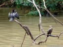 a cormorant (phalacrocorax sp.) and darter (anhinga sp.), drying their wings after the rainfall