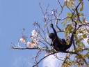 a female mantled howler monkey (alouatta palliata) with its baby