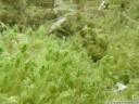 chara vulgaris (characeae, armleuchteralgen)