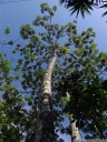 guarumo (cecropia obtusifolia), a tree with symbiotic azteca ants
