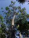 guarumo (cecropia obtusifolia), a tree with symbiotic azteca ants