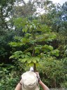 a young guarumo tree (cecropia obtusifolia)