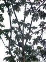 a brown-throated sloth (bradypus variegatus) is sleeping on a cecropia tree (cecropia sp.)