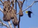 montezuma oropendola (psarocolius montezuma) and woven hanging nests