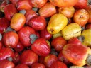 tropical fruit: cashew nuts (anacardium occidentale, brownish) with edible, thickened fruit stalks