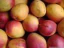 tropical fruit: yellow-red mangos (mangifera indica)