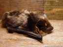 nordfledermaus (eptesicus nilssonii) || foto details: 2005-08-14, austria, DSC-F717. keywords: vespertilionidae, bat, microbat, fledermaus, sérotine de nilsson, sérotine boréale