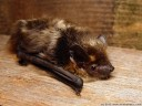 northern bat (eptesicus nilssonii)