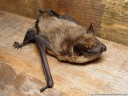 eptesicus serotinus (en: serotine bat, de: breitflügelfledermaus, fr: sérotine commune)