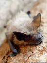 breitflügelfledermaus (eptesicus serotinus) || foto details: 2005-07-16, austria, DSC-F717. keywords: vespertilionidae, bat, microbat, fledermaus, sérotine commune