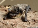 parti-coloured bat, rearmouse (vespertilio murinus)