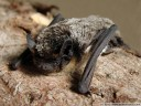 vespertilio murinus (en: parti-coloured bat, rearmouse, de: zweifarbfledermaus, fr: sérotine bicolore)