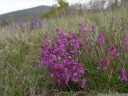 polygala nicaeensis - anthocyans are responsible for different coloration