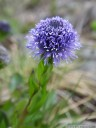 common globularia (globularia punctata)