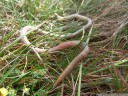 giant earthworm. 2012-04-21 01:18:00, DSC-F828.