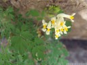 white corydalis (pseudofumaria ochroleuca syn. p. alba)
