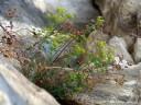 euphorbia fragifera || foto details: 2012-04-21 04:13:06, podpec, slovenia, DSC-F828.
