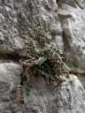 rustyback (ceterach officinarum). 2012-04-21 04:15:17, DSC-F828. keywords: asplenium ceterach