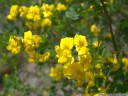 hippocrepis emeroides