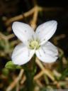 moehringia tommasinii, nahaufnahme einer blüte || foto details: 2012-04-21 05:14:59, podpec, slovenia, PENTAX Optio W60.