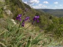 iris illyricus in its natural habitat