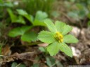 sanicula epipactis