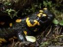 fire salamander (salamandra salamandra). 2012-04-22 01:21:35, DSC-F828.
