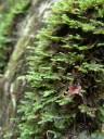 neckermoos (neckera crispa) || foto details: 2012-04-22 01:41:50, pekel, slovenia, DSC-F828.