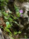 carniolian primrose (primula carniolica)