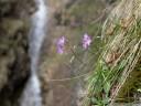 carniolian primrose (primula carniolica). 2012-04-22 02:38:15, DSC-F828.