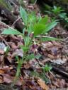 henbane bell (scopolia carniolica)