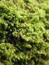 chalk comb-moss (ctenidium molluscum)