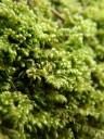 chalk comb-moss (ctenidium molluscum)