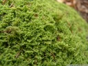weiches kammmoos (ctenidium molluscum) || foto details: 2012-04-22 03:19:27, pekel, slovenia, DSC-F828. keywords: straußenfedernmoos