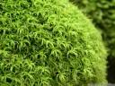 twisted tortella moss (tortella tortuosa)