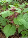 balm-leaved red deadnettle (lamium orvala)